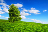 Green nature scenery with lonely tree on meadow