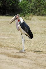 Marabou Stork, Queen Elizabeth National Park, Uganda