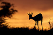 Springbok antelope silhouetted against a red sky