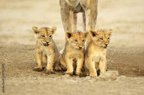 Słodkie Lion Cub