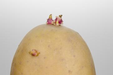 keimende Kartoffel seitlich