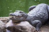 Mugger or Marsh Crocodile (Crocodylus palustris)
