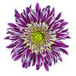 Chrysanthemum Flower Purple with Lime Green Center