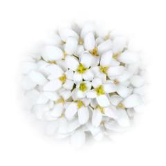 White Iberis Flower Head blending into the White