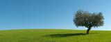 Fototapety Panoramica Ulivo con la sua ombra