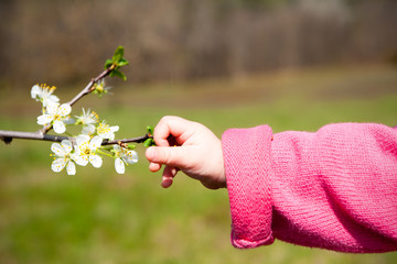 A babies hand reaches out for the spring blossom