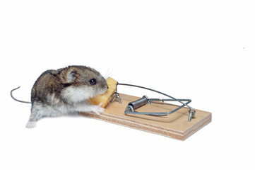 a baby mouse in a mousetrap