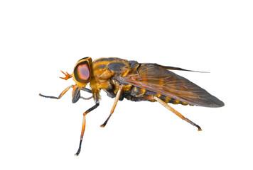 Horsefly 3