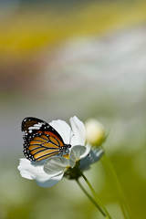 Monarch butterfly resting on a white flower