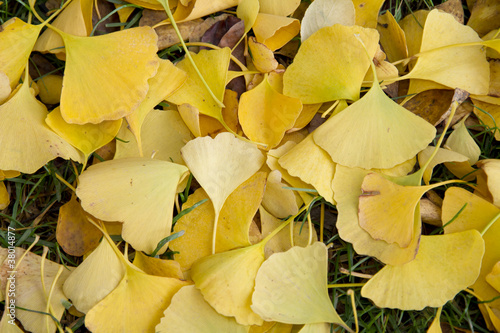 Ginkgo biloba autumn Leaves