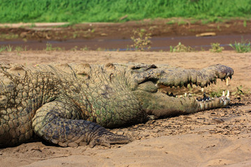 Костариканский крокодил