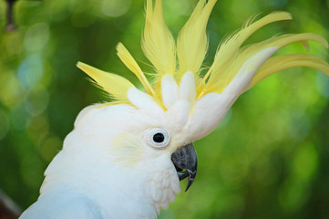 yellow crested cockatoo