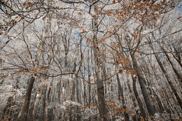 Beech forest in the winter