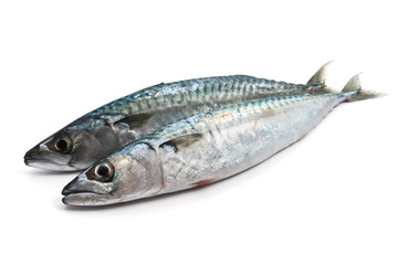 two fresh mackerel - due sgombri
