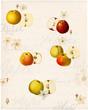 Grafik mit alten Apfelsorten