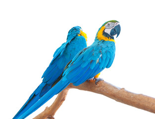 Blue-and-Yellow Macaws (Ara ararauna)