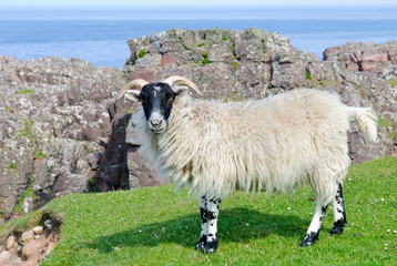 Scottish blackface sheep, Scotland