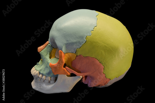 Menschlicher Schädel, Model
