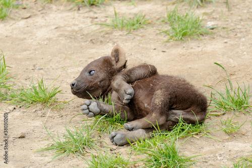 Papiers peints Hyène Spotted hyena cub