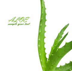 Green leaves of aloe plant close up