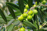 Olive 42