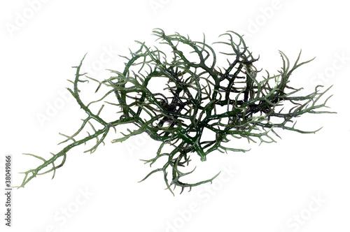 fresh green seaweed - 38049866