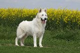 beautifil white swiss shepherd dog on the grass