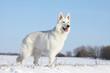 berger blanc dans la neige
