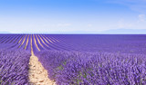 Fototapety Field of lavender, Location is France, Provance
