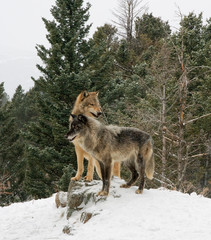 Two wolves on Hill Top