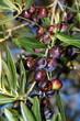Olives damaged by hail