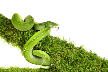 Snake ,Schlange ,Boa,Python,Corallus caninus