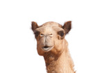 isolated camel head - 38064403