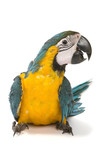 Fototapety Blue and Gold Macaw