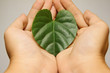 Hands holding a heart leaf symbol.Ecology concept