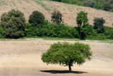 albero su terreno arato a grosseto in Toscana poster