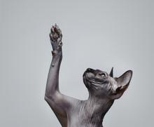 Kanadische Sphynx Katze