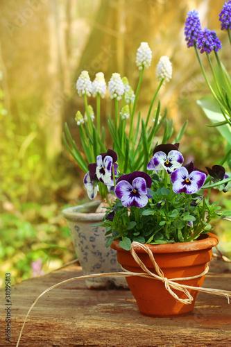 Keuken foto achterwand Pansies Frühling im Garten