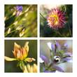 dahlias, fleurs, jardin, fleuri, plante, jardinage, parc, vert