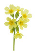 Flower european primrose- Primula veris