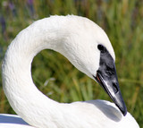 Beautiful Trumpeter Swan