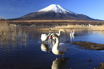 Mt. Fuji and Swans