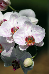 Beautiful white and purple orchid on broun background