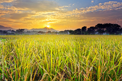 paddy field with sunset