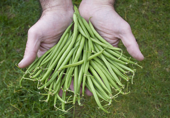 Just Picked Fine French Green Beans