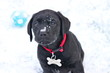 Labrador puppy in snow - 38130068