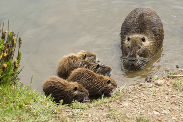 Myocastor coypus family