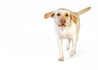 Laufender Labrador im Studio