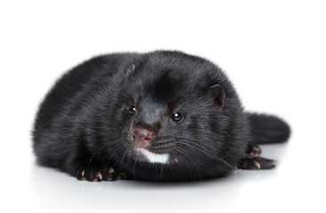 Mink lying on a white background