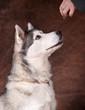 femelle husky qui attend sa croquette